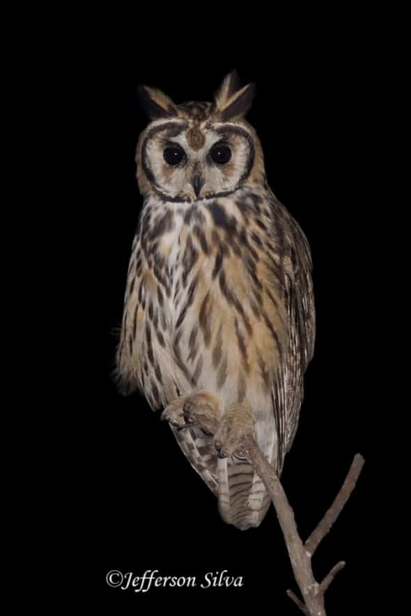 Striped Owl (Asio Clamator)  - 1