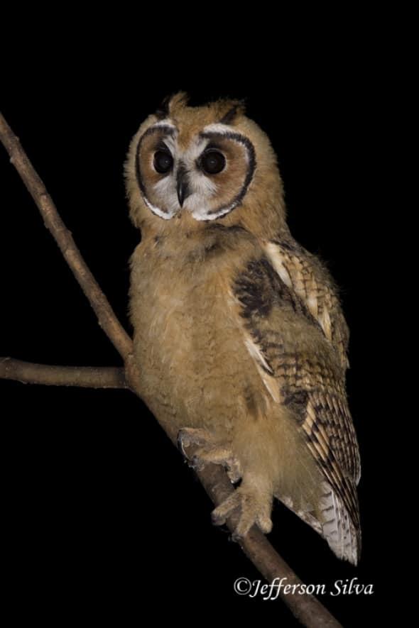 Striped Owl (Asio Clamator)  - 3