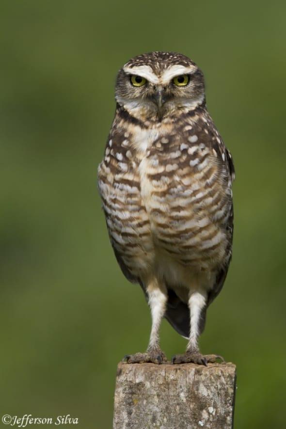 Burrowing Owl (Athene cunicularia) - 1