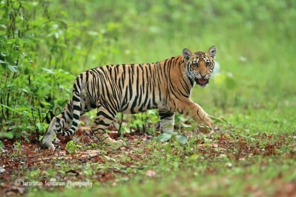 Monsoon Click Tiger Cub by Saravanan Sundaram