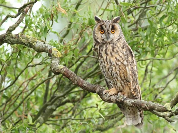 Long-eared Owl (Asio otus) by Rob Belterman