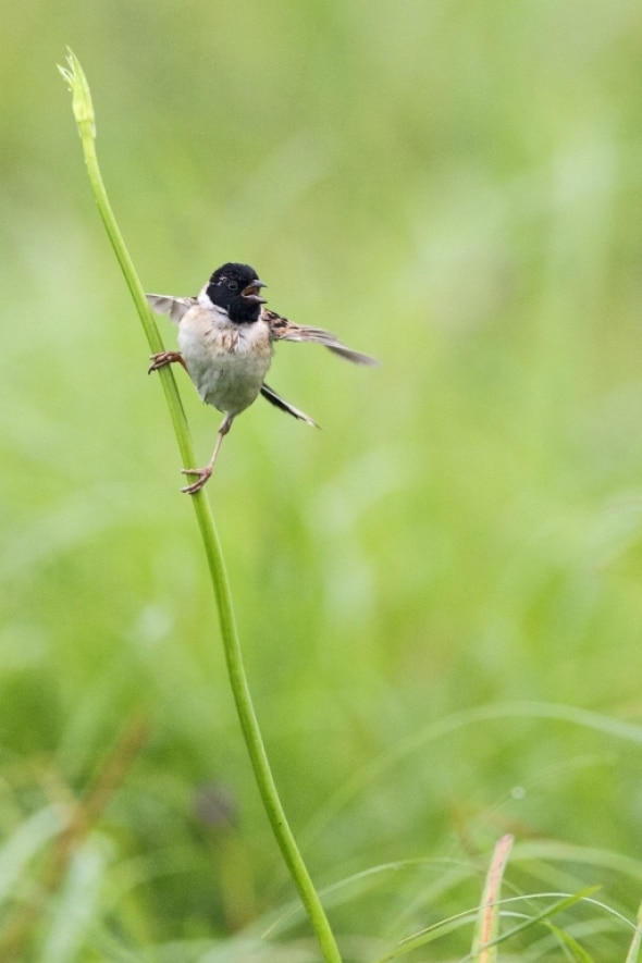 Japanese Reed Bunting (male) Calling with Wingflap