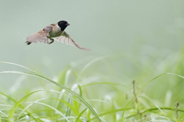 Japanese Reed Bunting (male) in Flight