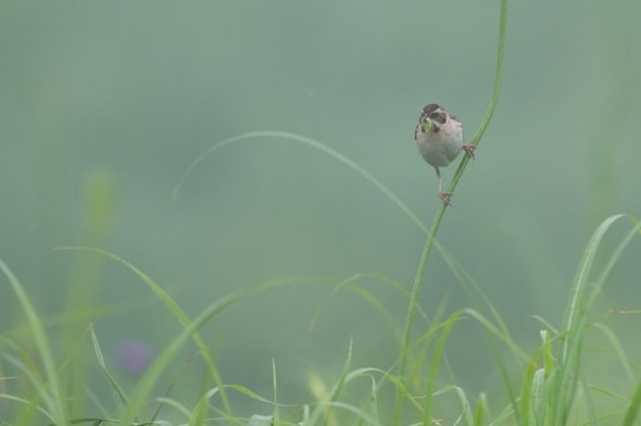 Japanese Reed Bunting (female) with Grub
