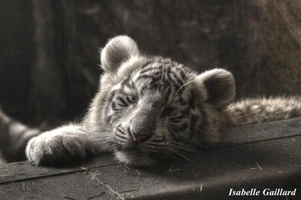 Bébé tigre blanc by Isabelle Gaillard