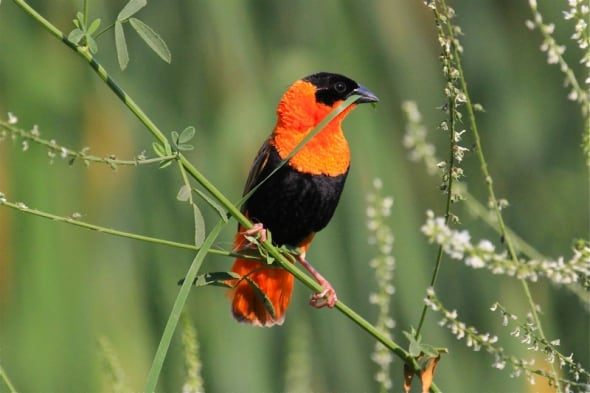A beautiful male Orange Bishop gathers reeds to 'weave' it's nest