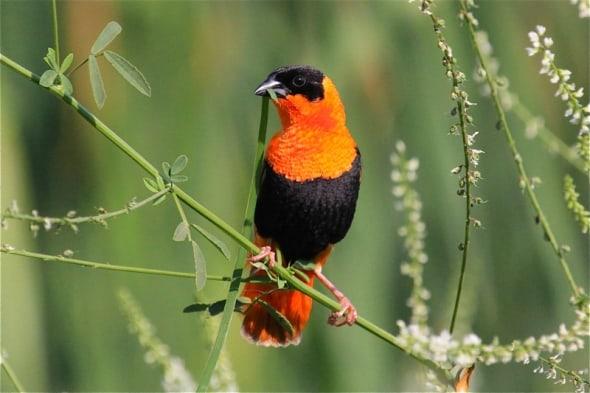 Male Orange Bishop