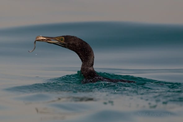 scormorant_adult_9851
