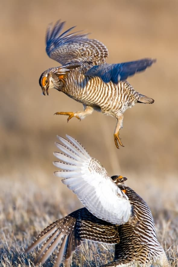 Greater Prairie-chicken Tympanuchus cupido