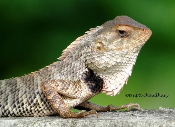 Lizard on my way by Trupti Choudhary