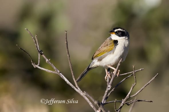 Black-masked Finch (Coryphaspiza melanotis) - 2