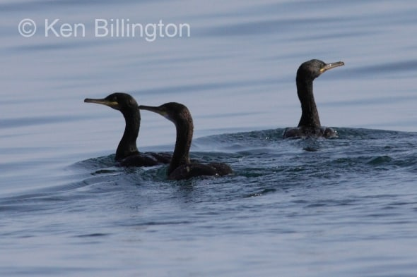Three Little Shags