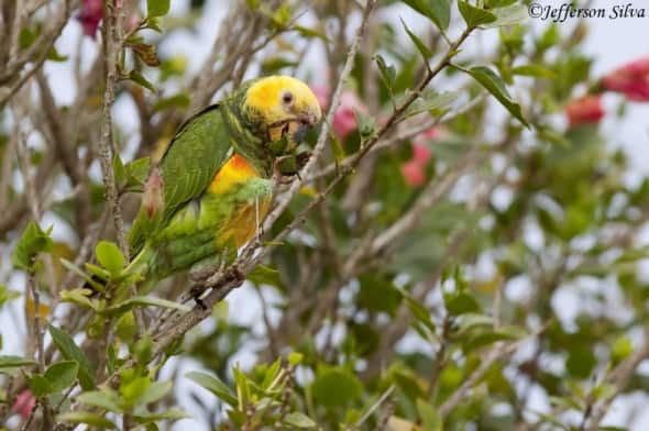 Yellow-faced Parrot (Alipiopsittaxanthops)