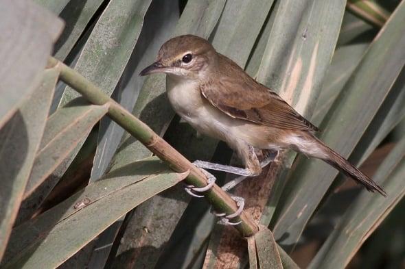Juvenile Basra Reed Warbler