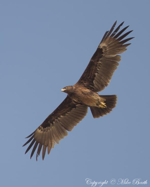 Greater Spotted Eagle (Aquila clanga) (VU)