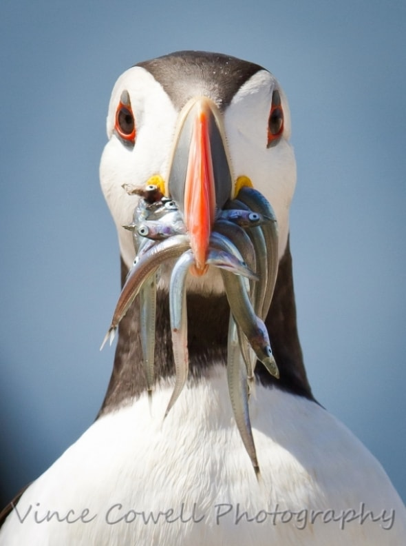 Puffin Face On