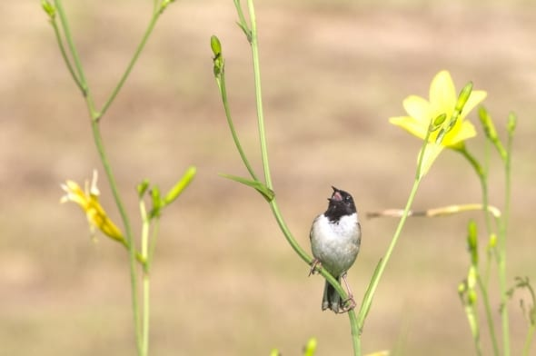 Japanese Reed Bunting (male) Singing