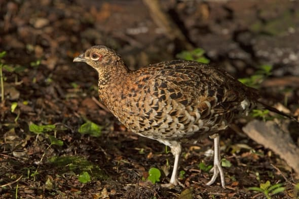 Copper Pheasant (female)