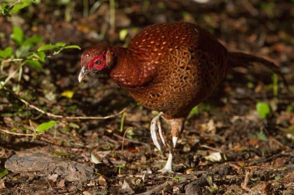 Copper Pheasant (male)