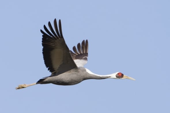 White-naped Crane In Flight