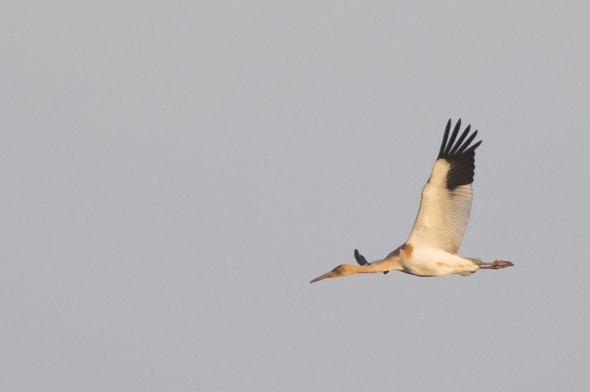 Siberian Crane (juvenile) in Flight