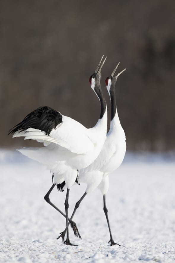 Red-crowned Crane Calling