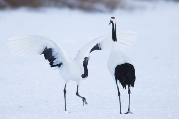 Red-crowned Crane Dancing