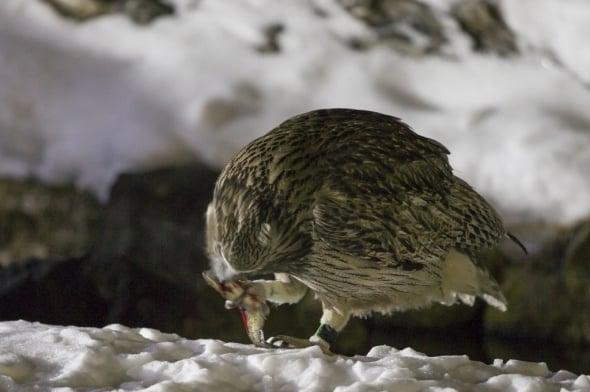 Blakiston's Fish Owl (Bubo blakistoni) with Trout