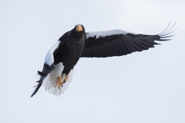 Steller's Sea Eagle (Haliaeetuspelagicus) in Flight