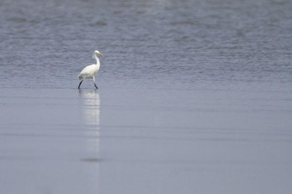 Chinese Egret (Egretta eulophotes)
