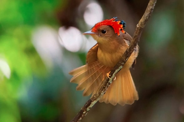 Atlantic Royal Flycatcher