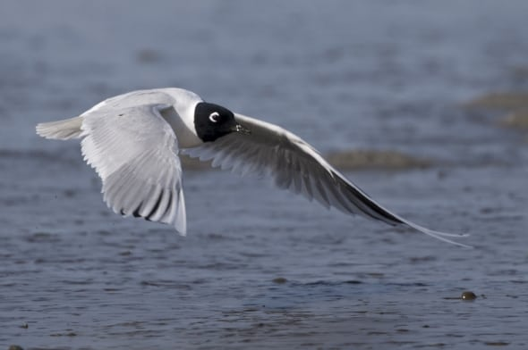 Saunders's Gull (breeding) in Flight