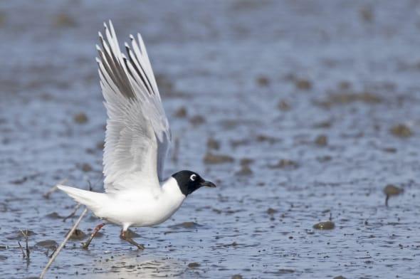 Saunders's Gull (breeding) taking Flight