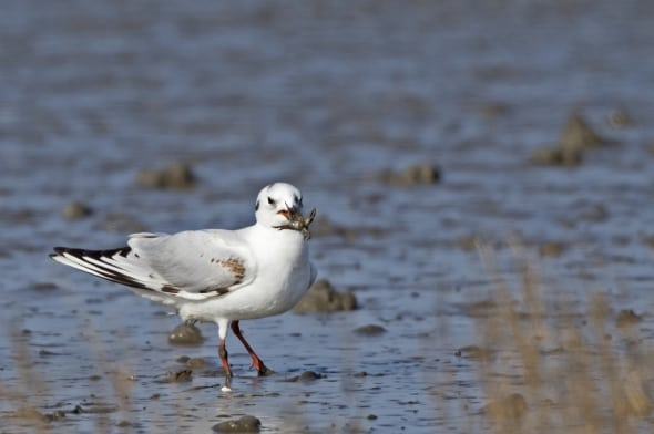 Saunders's Gull (non-breeding) with Crab