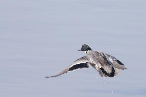 Falcated Duck (male breeding) in Flight