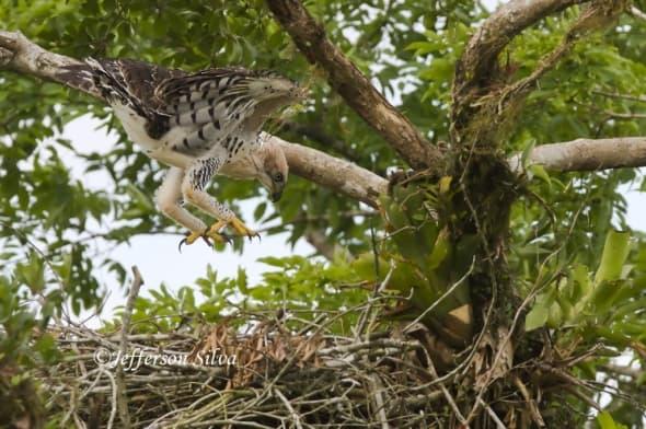 Ornate Hawk-eagleSpizaetusornatus