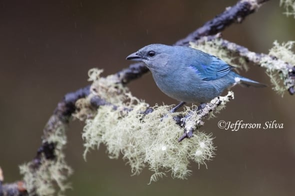 Azure-shouldered Tanager Thraupis cyanoptera