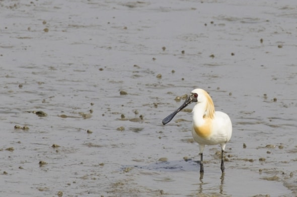 Black-faced Spoonbill (adult breeding)