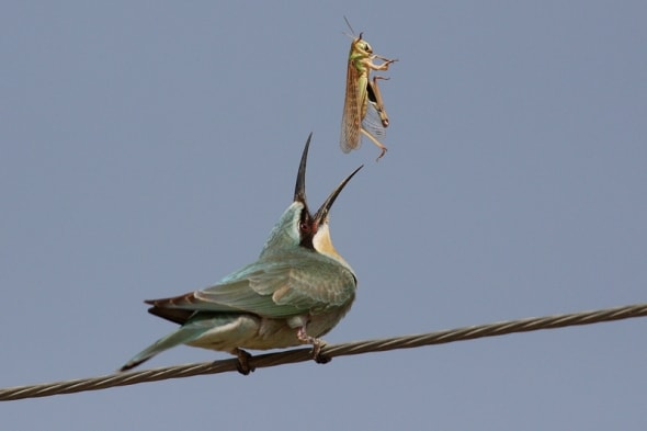 Blue-cheeked Bee Eater with breakfast and lunch