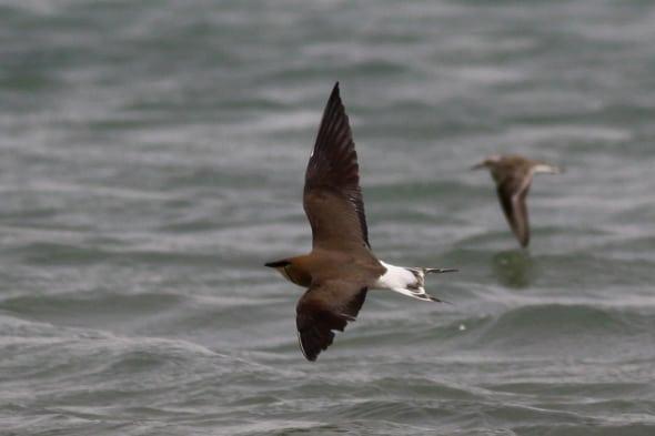 Black-winged Pratincole (Glareola nordmanni)