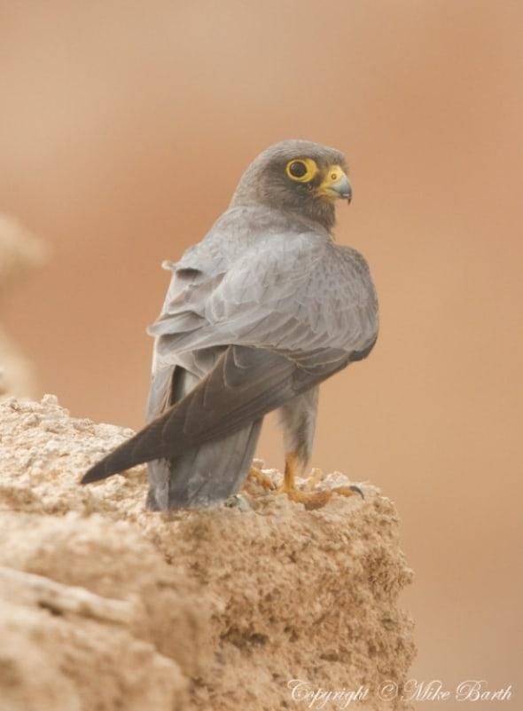 Sooty Falcon Falco concolor