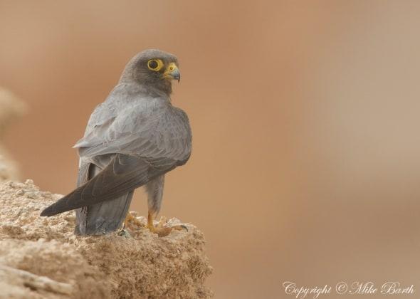 Sooty Falcon Falco concolor (NT)