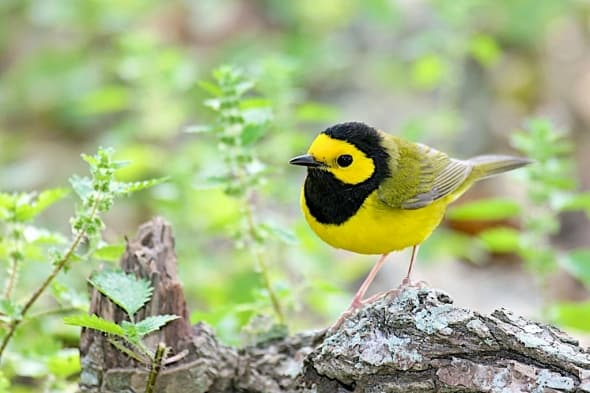 Hooded Warbler and nettles
