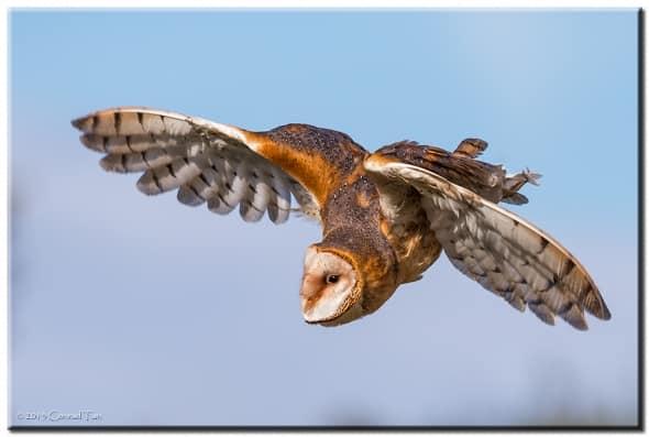 Barn Owl Ballet