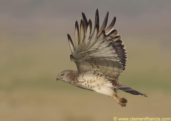 Short-toed Snake Eagle's flight