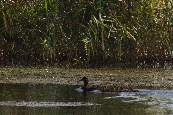 Ferruginous Duck (Aythya nyroca)