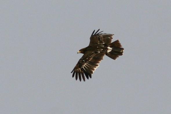 Greater Spotted Eagle (Aquila clanga)