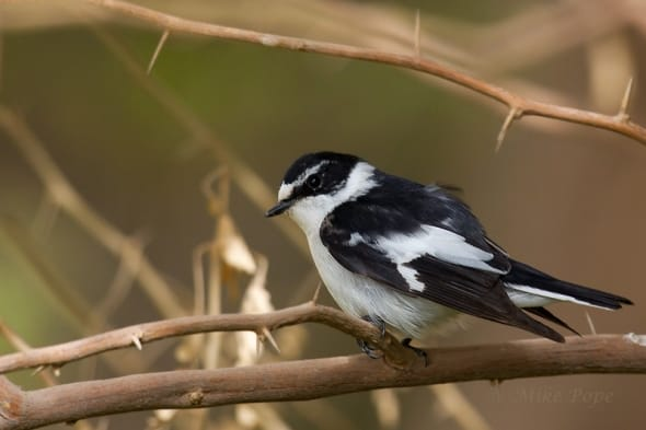 Semi-collared Flycatcher (Ficedula semitorquata)