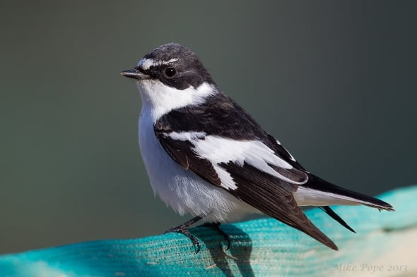 Semi-collared Flycatcher (Ficedula semitorquata)