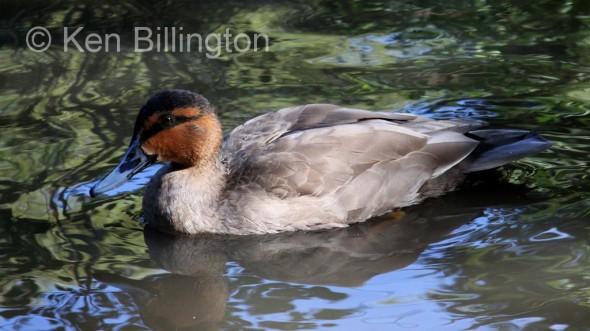 Philippine Duck (Anas luzonica) (2).JPG